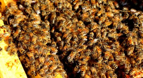 Researchers worry beekeeping may negatively impact native bee populations
