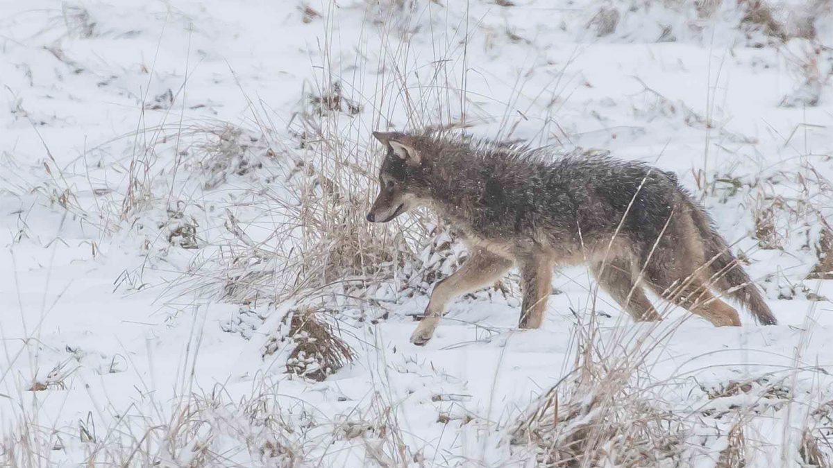 Alta Vista leads record-breaking year for coyote sightings