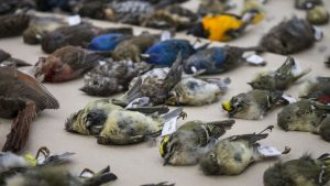 Dead birds at the annual bird collision display, held at the Ottawa City Hall.