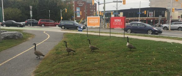 Geese passing in front off election signs in Ottawa Vanier
