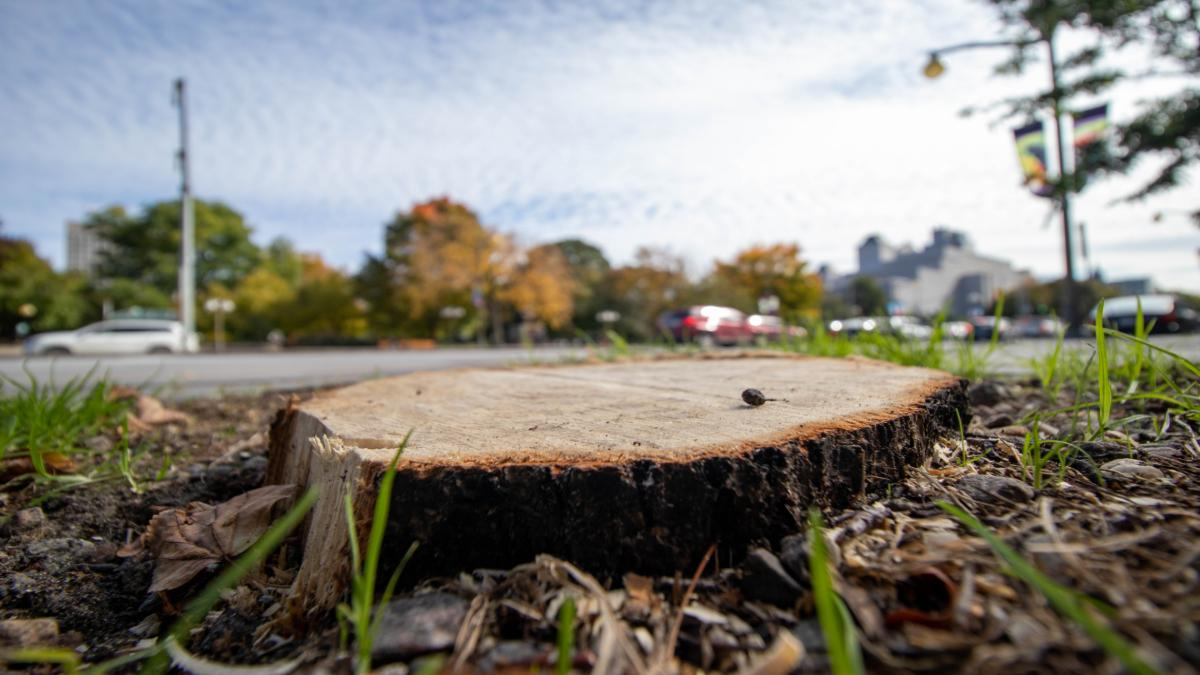 Disease and urban stresses claim 25 downtown trees