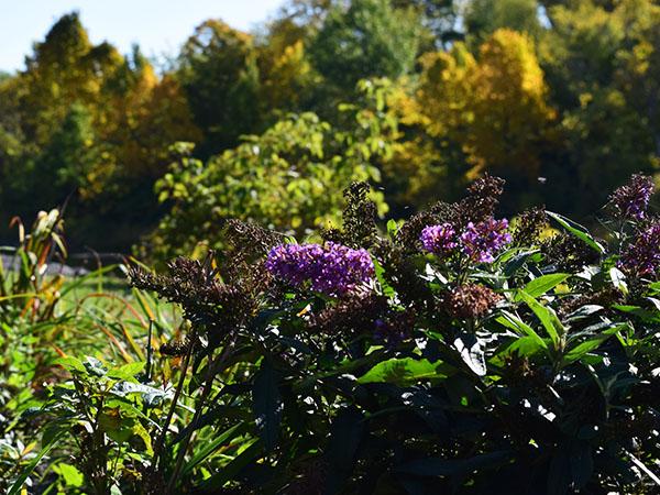 A bush of purple flowers.