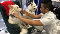Man fixes the collar of his white dog