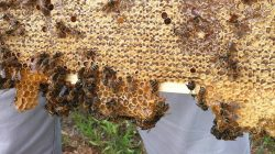 A close up of bees in a beehive.