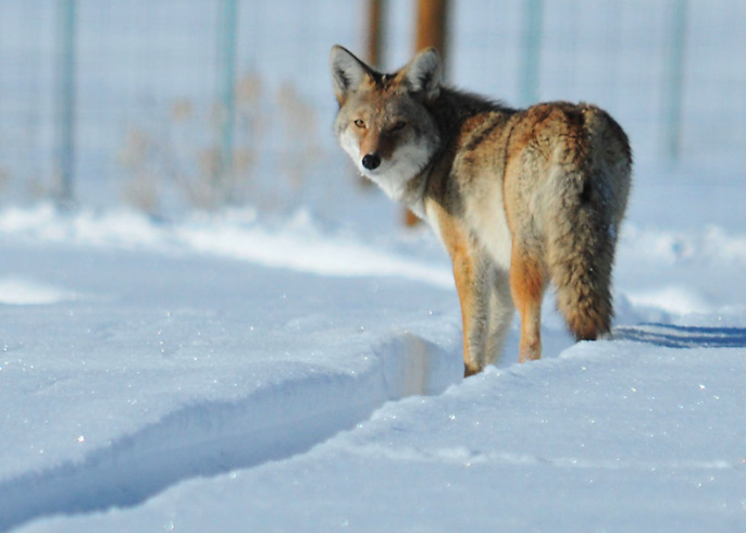 Coyote risk 'virtually nil,' official says despite reports of incidents