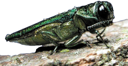 Ottawa's war on the Emerald Ash Borer enters a new phase.