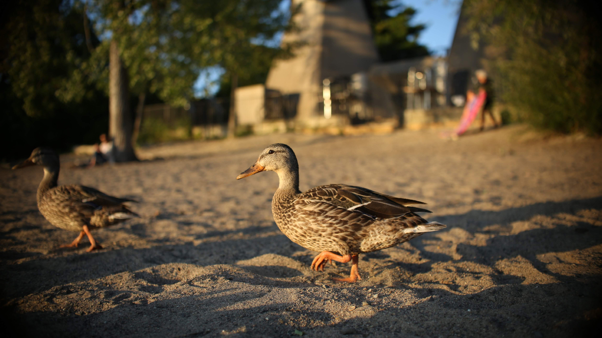 A pair of ducks walk across the sand. People can be seen in the background.