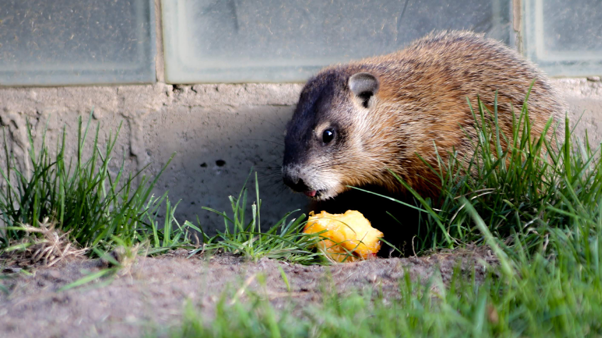 A gopher sits in the grass near a concrete wall.