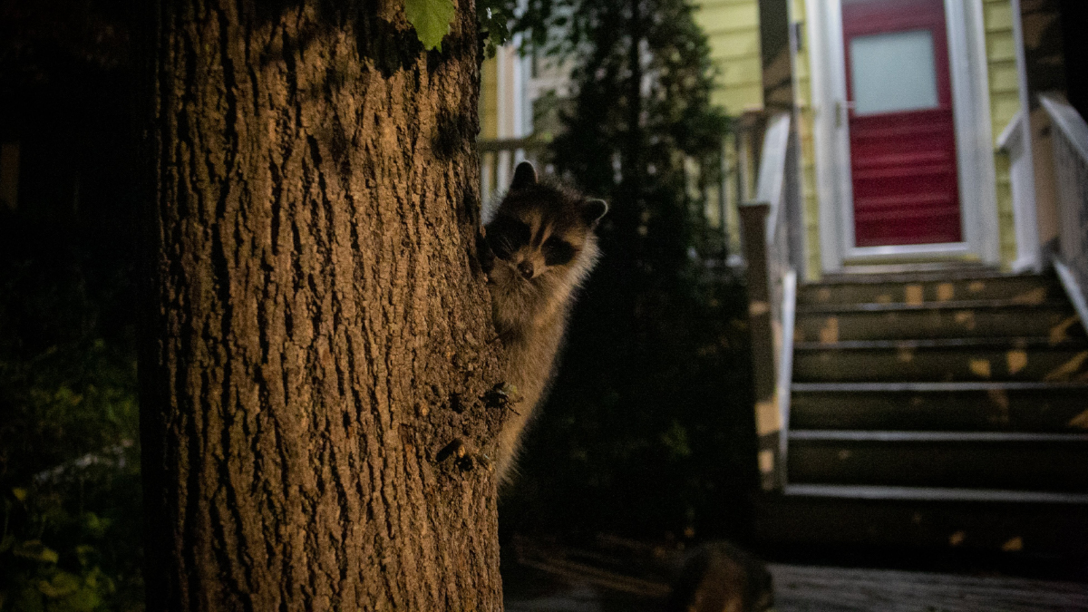 A raccoon is peaking out from behind a tree in front of a house at night.