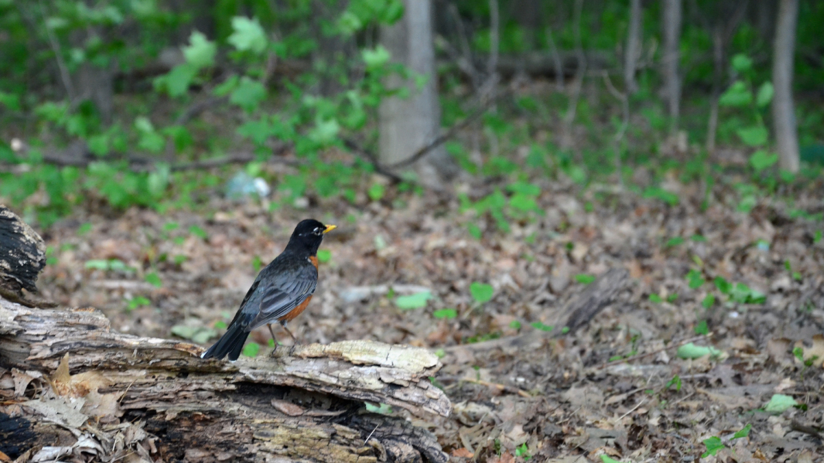 A robin sits on a log in a suburban forest trail. Trees and green leaves can be seen in the background.