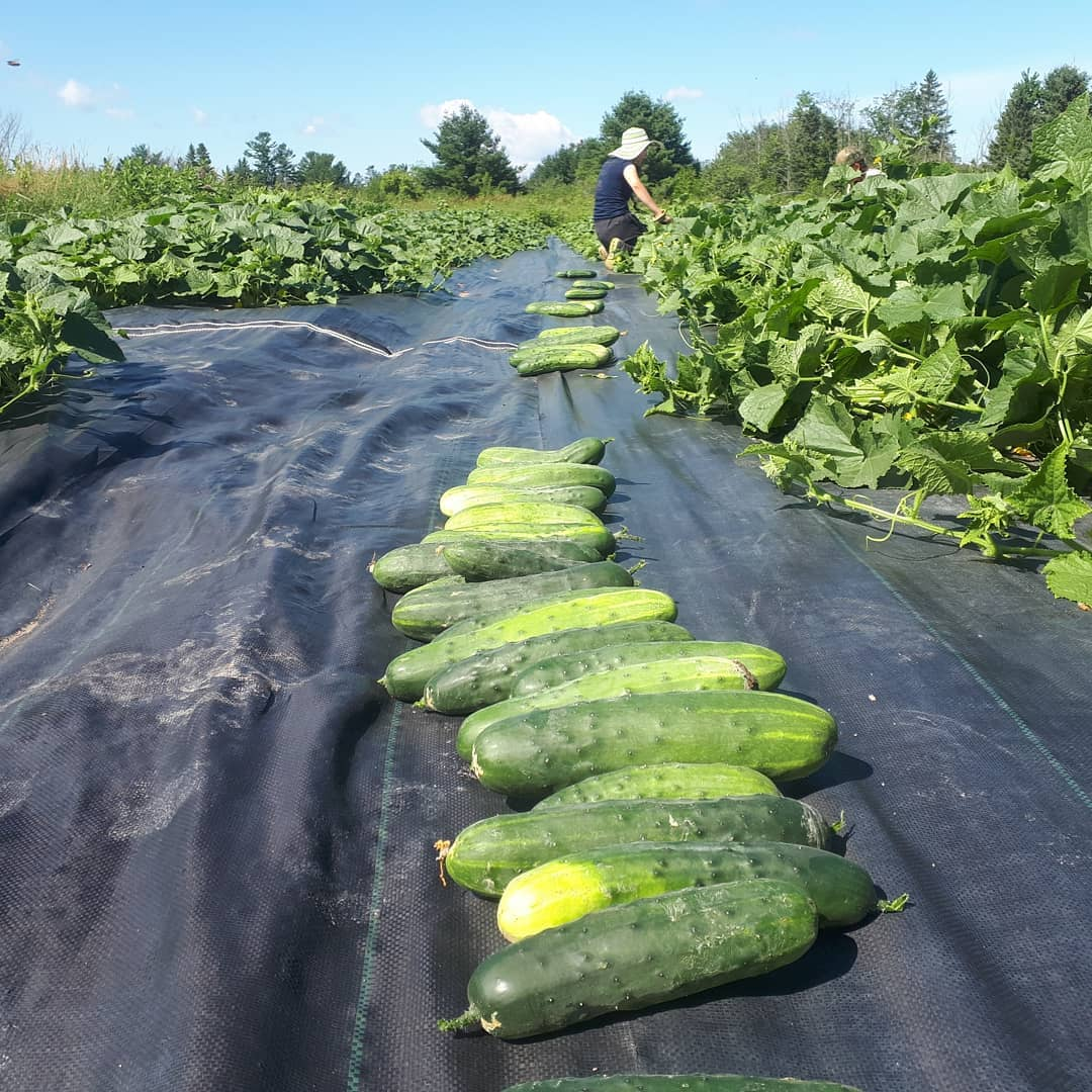 Cucumbers on a farm
