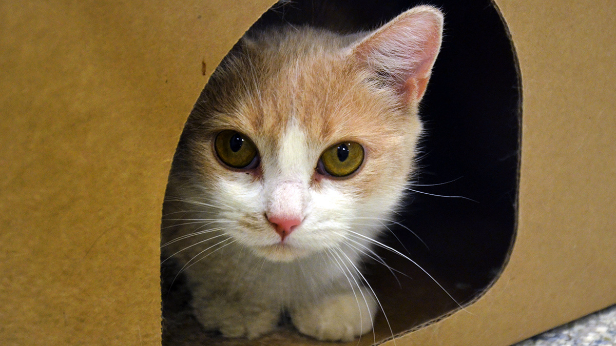 A cat is peaking out from a cardboard shelter at the Ottawa Humane Society.