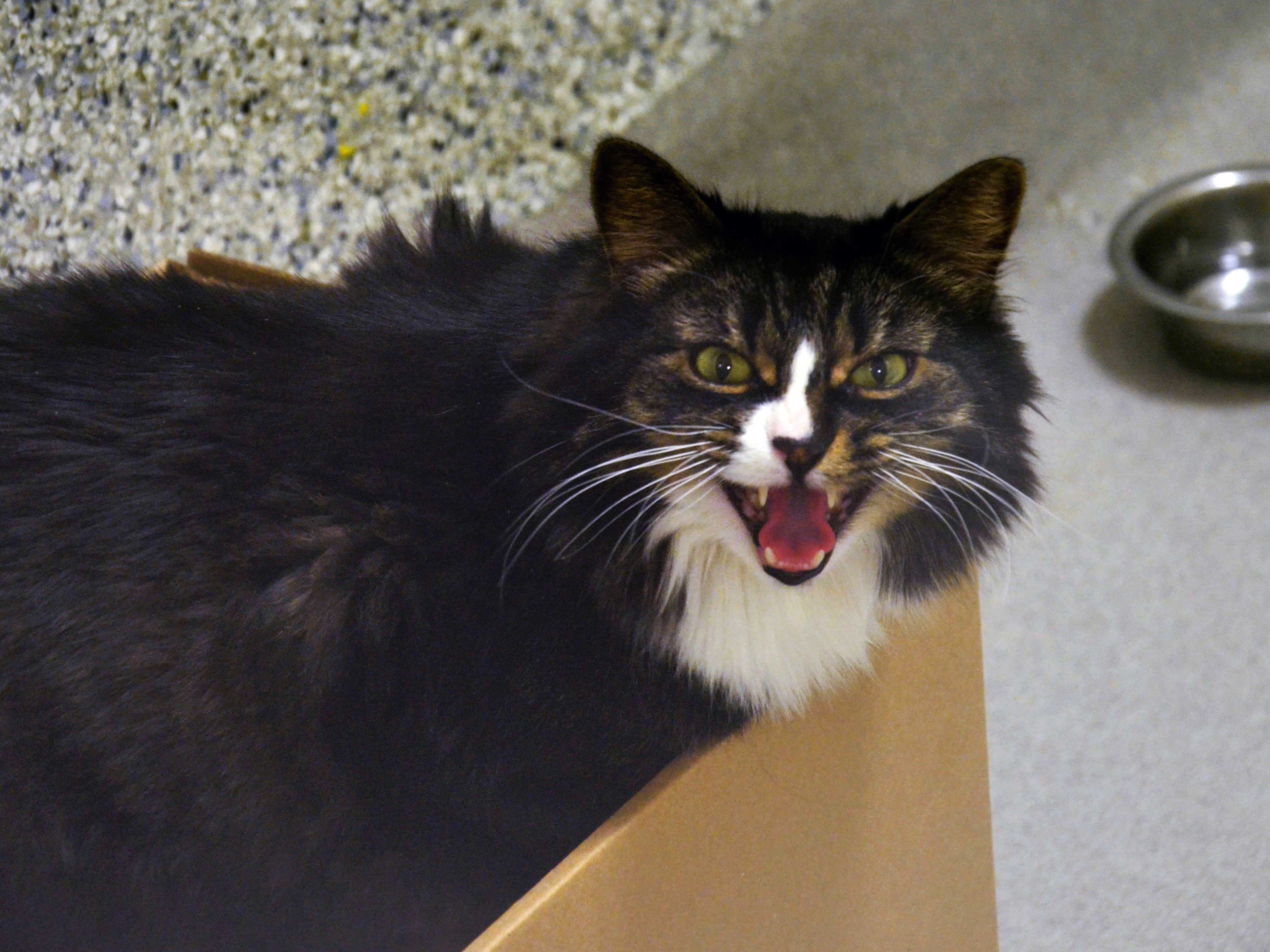 A cat at the Ottawa Humane Society growls from its enclosed pen. There is a water bowl on the ground behind the cat.