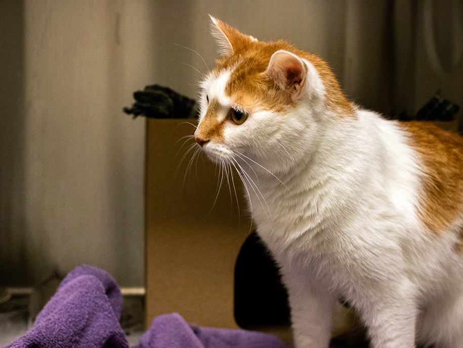 An orange and white cat sits in his pen at the Ottawa Humane Society. There is a cardboard shelter behind him and a purple wash cloth on the floor.