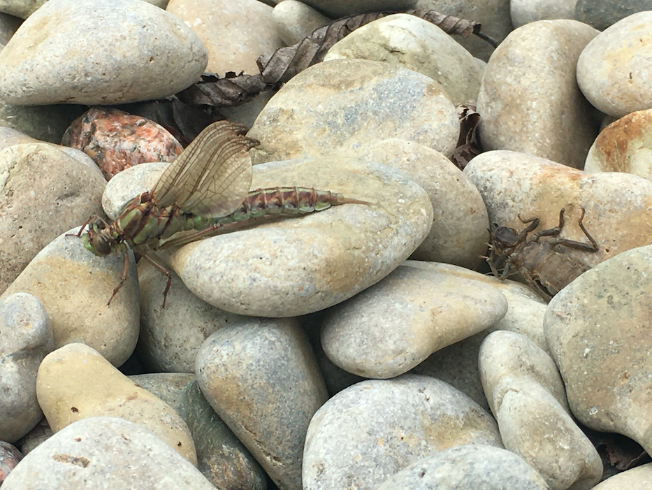 A dragonfly emerges from its nymph casing on the shores of Lake Winnipeg.
