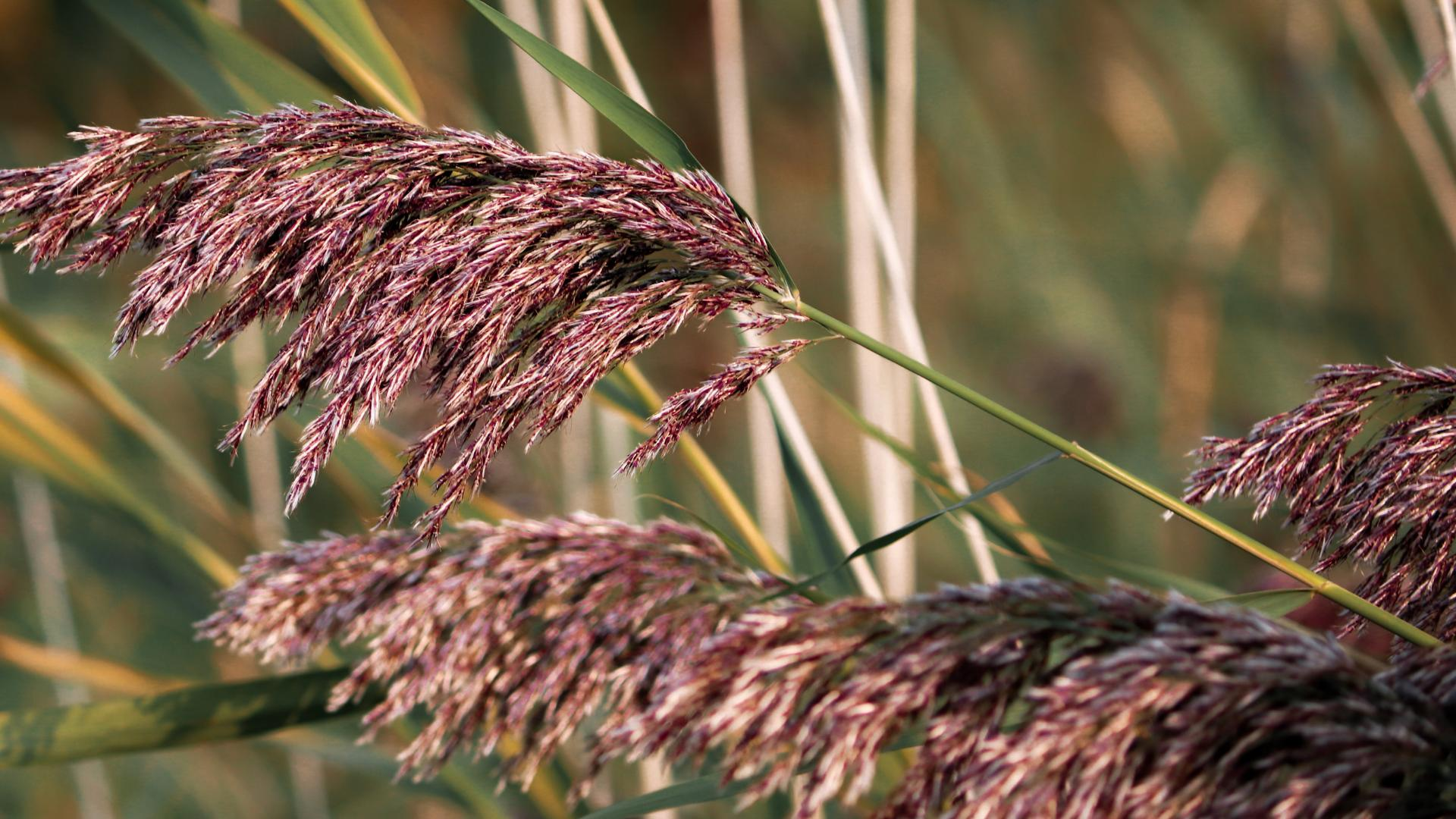 Up-close picture of phragmites