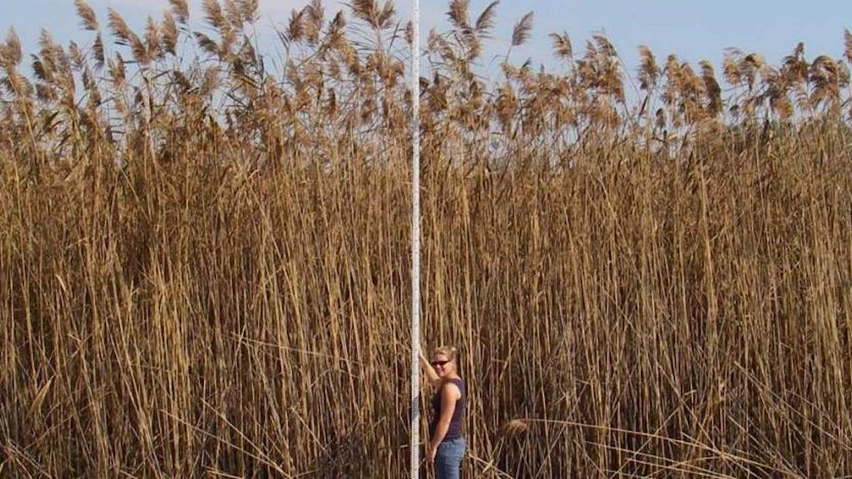 Woman standing with measuring rod next to 5m tall phragmites