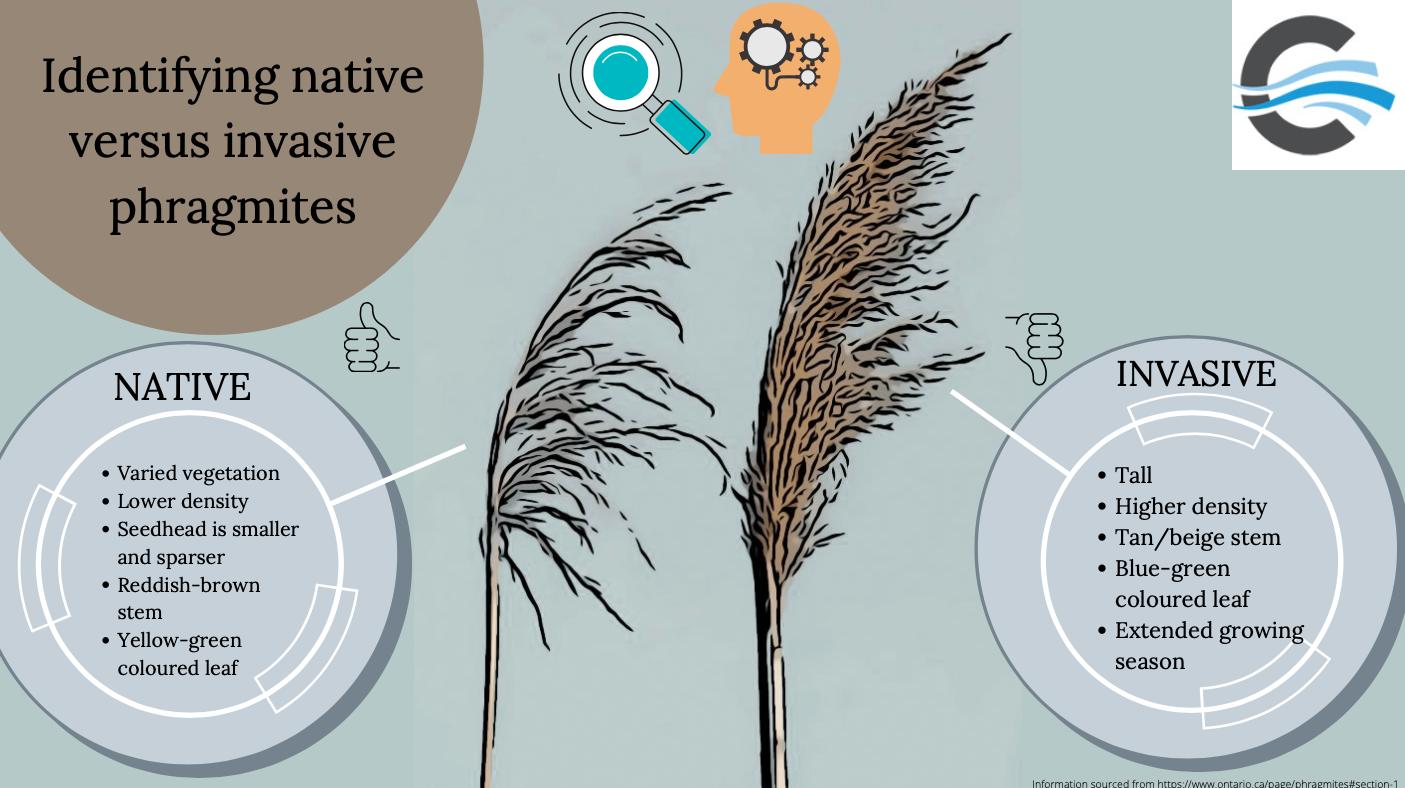 Graphic of native versus invasive phragmites