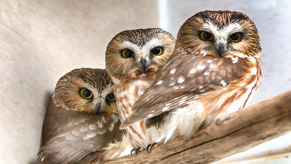 Three owls sit on a branch.