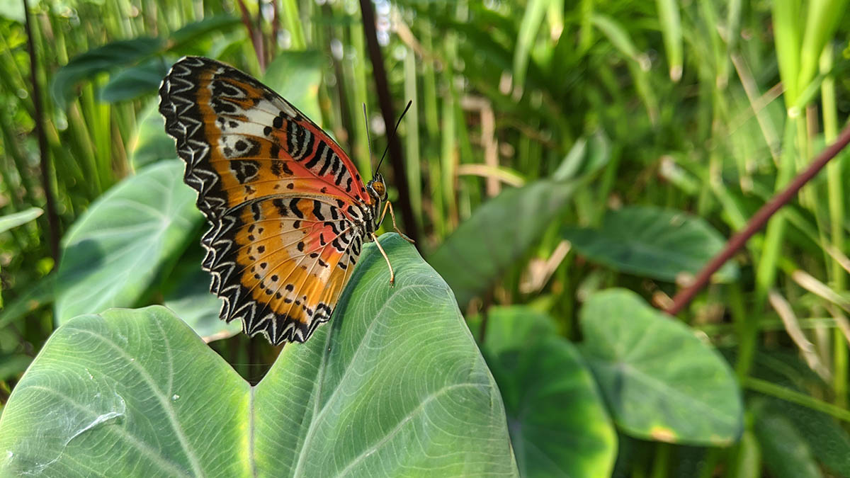 Carleton grows wings: Pushed by COVID-19, the 21st butterfly show adapted well to life online