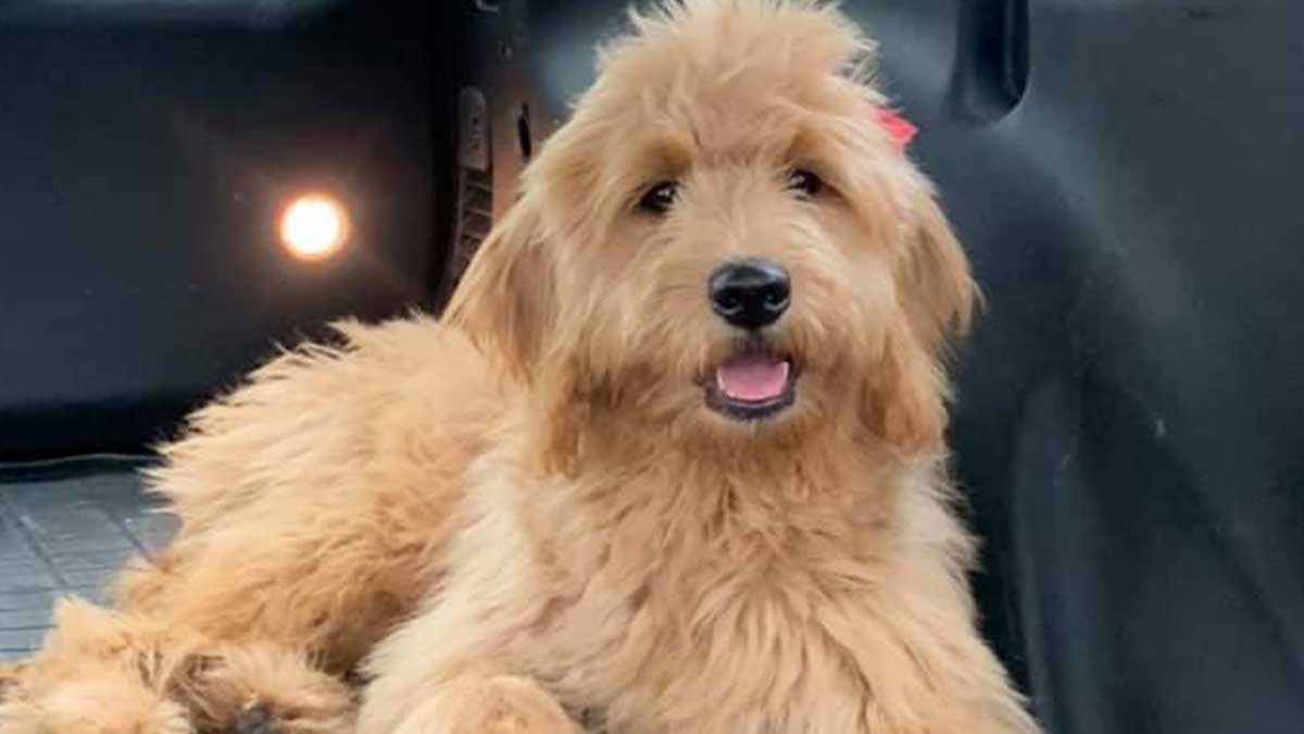 Increased demand for puppies is leading to rise in dog thefts