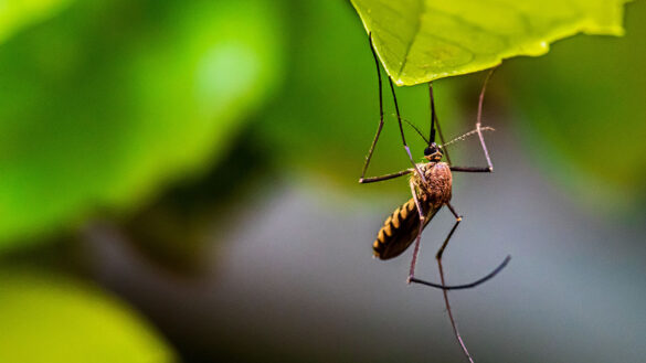 Mosquito on a leaf.