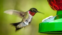 A hummingbird feeds from a plastic nectar feeder. Its throat feathers are a deep red.