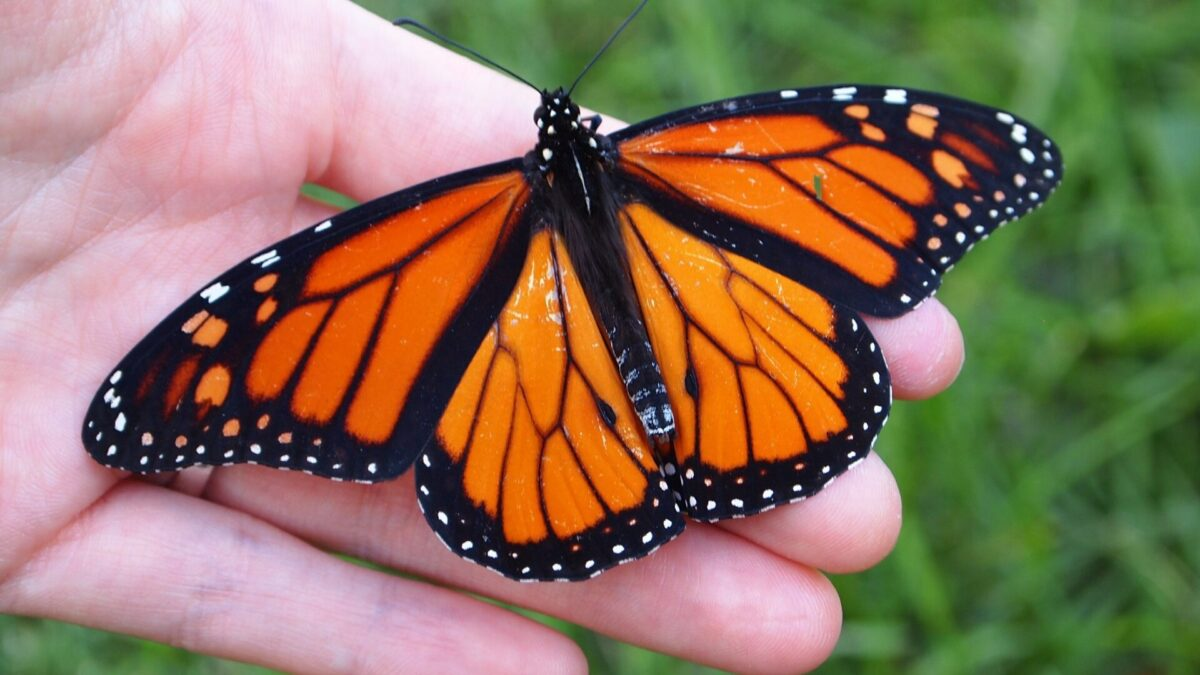 Image of a monarch butterfly resting on a person's opened hand. Open wings show its bright orange color, black lines, and white spots.